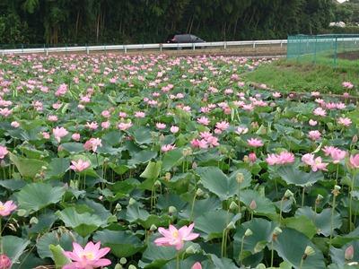 ながぐつ沼のハスの花