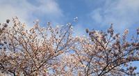 桜が見頃です