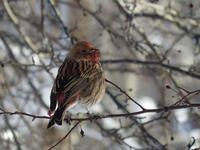 雪原に映える紅い鳥
