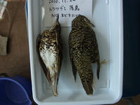 こう見えて初体験、鳥の解剖&剥製づくり