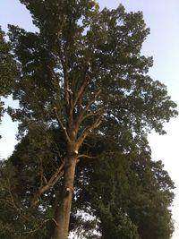 伐採と枝下し