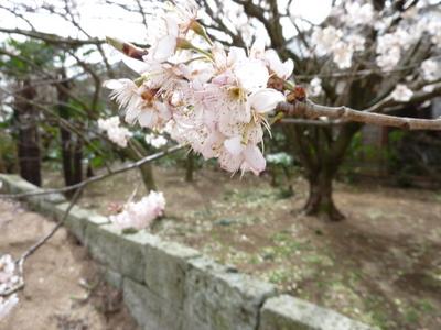 """""""サクラ""""んぼの花が満開です!2010"""