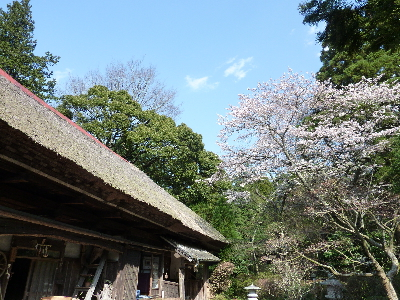 茅葺屋根と山桜