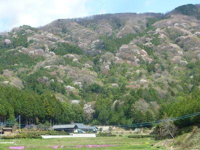 桜川市の山桜が最盛期です!
