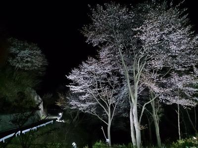 山桜ライトアップ
