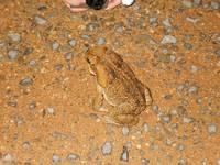 デジカメより大きなカエル