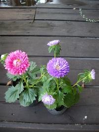 8月28日入荷の鉢花