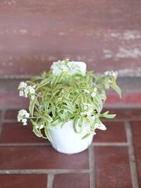 12月25日入荷の鉢花