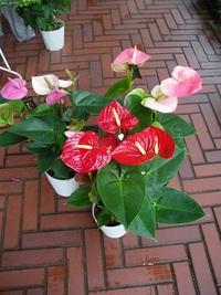 4月24日入荷の鉢花