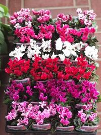 10月15日の鉢花