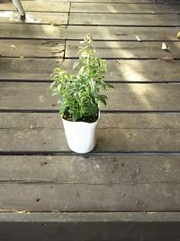 11月13日入荷の鉢花