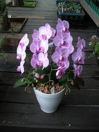 8月21入荷の鉢花