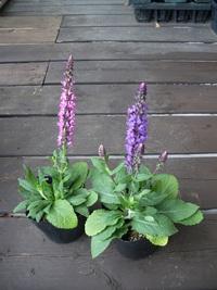 6月19日入荷の鉢花
