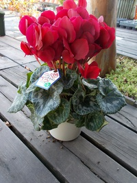 12月18日入荷の鉢花