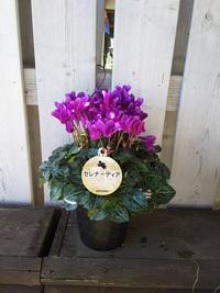 11月25日入荷の鉢花
