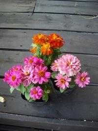 10月9日入荷の鉢花