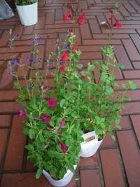 7月24日入荷の鉢花