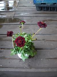 6月26日入荷の鉢花