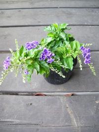 7月25日入荷の鉢花