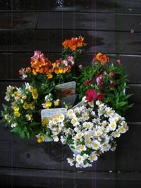 10月16日入荷の鉢花