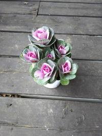 11月20日入荷の鉢花