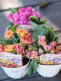 1月23日入荷の鉢花