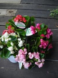 6月12日入荷の鉢花