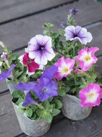 4月3日入荷の鉢花