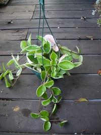 10月23日入荷の鉢花