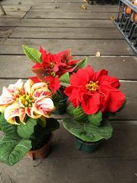12月4日入荷の鉢花