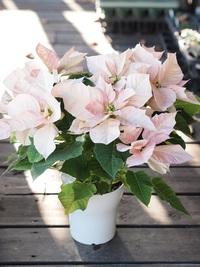 11月24日入荷の鉢花