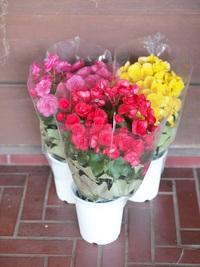 10月24日入荷の鉢花