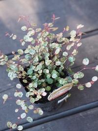 11月27日入荷の鉢花