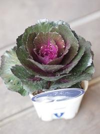 10月31日入荷の鉢花
