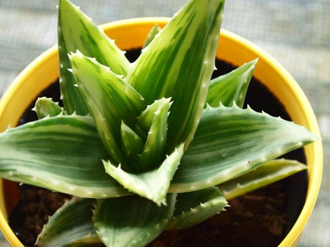 健康うぐいすアロエA.nobilis.var :S71