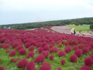 茨城県北芸術祭と、コキアの紅葉