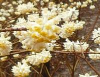 茂木町のミツマタ群生地と、桜川市の桜