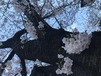 【お花見】目黒川へ…♪