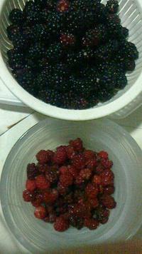 ブラックベリー大収穫