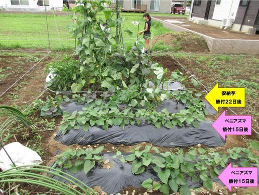 しばらく畑に行かないうちにジャングルになっていた!でも安納芋はちゃんと育っている!!