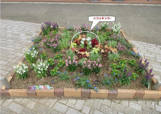 ベストランド花壇の「初雪草」と高山植物の「薄雪草」の関係は?