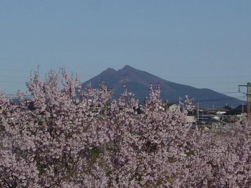 石岡市南台から桜ごしに筑波山を望む