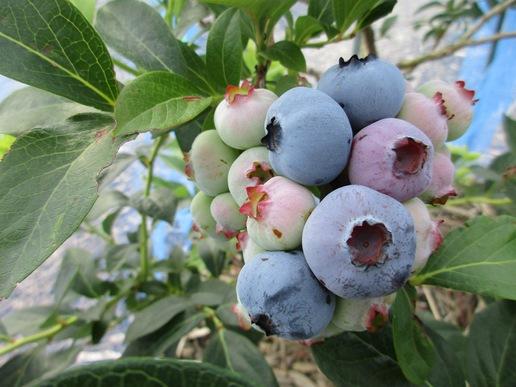 そろそろ終わる「つくばのブルーベリー」今はラビットアイ系の晩生種の収穫時期です!