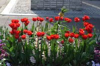 研究学園駅前に真っ赤なチューリップが咲いた!