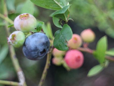 ルビーの様なピンクのブルーベリーは可愛くてとってもおいしい貴重な品種です!