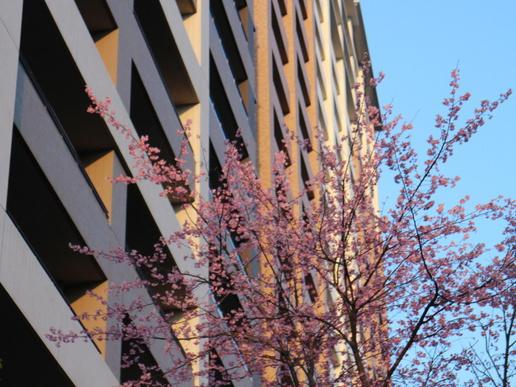 研究学園春到来!「サーパス」前の桜の花がほころんでいる!