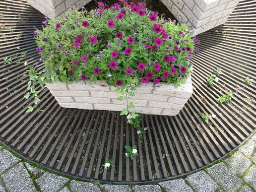 研究学園駅前に咲く健気な植物たち!冬に咲くビオラがこの時期に??