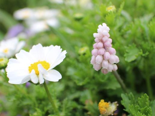 研究学園駅前は花盛りです!可愛い薄桃色の「ムスカリ」是非探してみてくださいな!