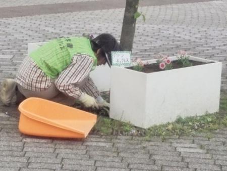 タネのタキイさんからいただいたペチュニアを駅前に植えました!