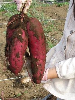 イーアス前の市民農園でイモ掘りしました!安納芋もたくさん採れました!